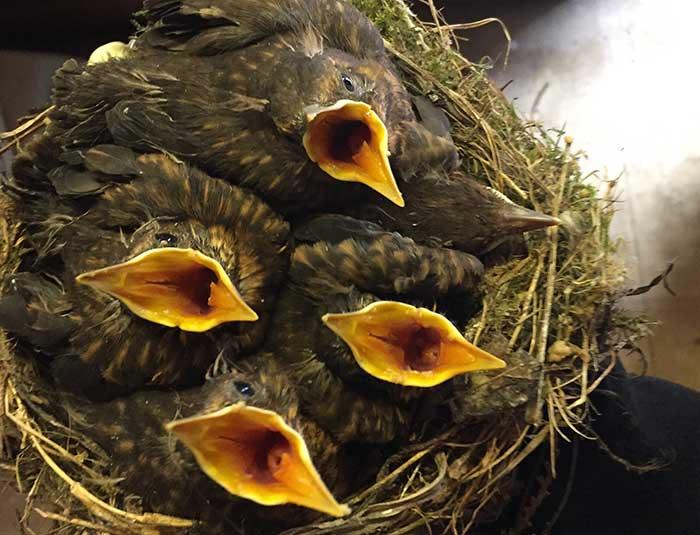 Baby-birds-crop